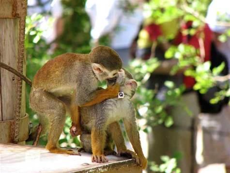 Резултат с изображение за monkey love